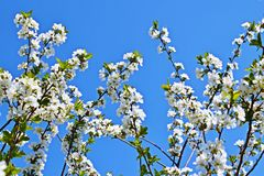 Beautiful cherry blossoms. Beautiful cherry blossoms in the garden royalty free stock photos