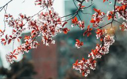Beautiful cherry blossoms in the middle of the city stock image