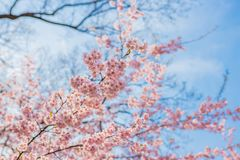Beautiful cherry blossoms royalty free stock photo