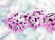 Beautiful cherry blossoms Royalty Free Stock Photo