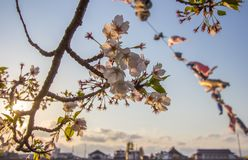 Beautiful cherry blossoms at Tenshochi Park,Kitakami,Iwate,Tohoku,Japan in spring. Tenshochi is located by the serene Kitakami River. It's famous for being royalty free stock image
