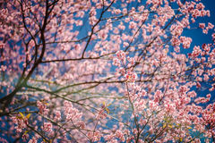 Beautiful cherry blossoms Royalty Free Stock Images