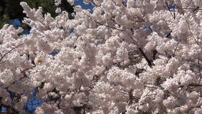 Beautiful Cherry Blossoms stock footage