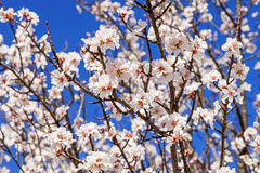 Beautiful cherry blossoms Stock Photography