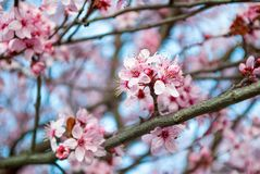 Beautiful cherry branch blossom in the park on spring day. Selective focus. Spring and nature concept image royalty free stock photography