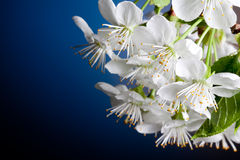 Beautiful Cherry flowers blossomed close-up Royalty Free Stock Photo