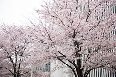 Beautiful cherry Flowers on Tree Royalty Free Stock Photography