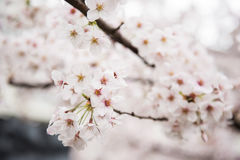 Beautiful cherry Flowers on Tree Royalty Free Stock Photo