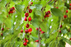 Beautiful cherry fruits hanging on a branch at orchard Stock Images