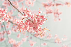 Beautiful cherry pink flower in spring stock image