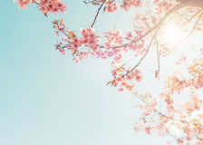 Beautiful cherry pink flower in spring. stock image