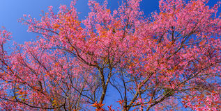 Beautiful cherry or sakura blossom on blue sky. Beautiful cherry or sakura blossom on tree on blue sky royalty free stock images