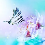 Beautiful cherry sakura flowers close-up on gentle soft blue and pink background with fluttering butterfly over sky. Greeting card Royalty Free Stock Images