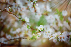 Beautiful cherry tree blooming, gentle little white flowers on twig over blur background, beauty of spring season. Royalty Free Stock Photo