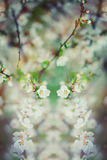 Beautiful cherry tree blooming, gentle little white flowers on twig over blur background, beauty of spring season. Royalty Free Stock Photos