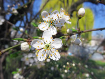 Beautiful cherry tree blossom in early spring. In March, with amazing light aroma in the air, little bees flying and collecting its nectar, lovely sunny warm Royalty Free Stock Images