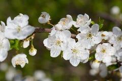 Beautiful cherry tree blossom Royalty Free Stock Photos