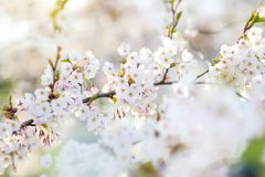Beautiful cherry tree blossoming on spring Royalty Free Stock Images