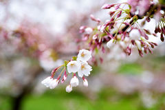 Beautiful cherry tree blossoming on spring day Royalty Free Stock Images