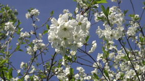 Beautiful cherry tree blossoming in  spring  garden stock video footage