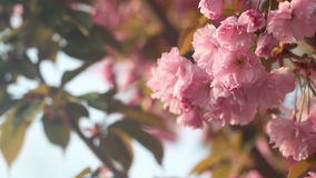 Beautiful Cherry tree blossoms in full bloom at spring. Amazing pink flowers of japanese cherry tree close up.  stock video