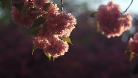 Beautiful Cherry tree blossoms in full bloom at spring. Amazing pink flowers of japanese cherry tree close up.  stock footage