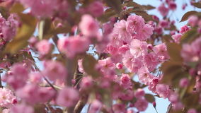 Beautiful Cherry tree blossoms in full bloom at spring. Amazing pink flowers of japanese cherry tree close up.  stock video footage