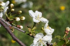 Cherry tree spring branch with blossom lighted by sun. Beautiful cherry tree branch spring blossom. Pictured with closeup view royalty free stock image