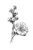 Beautiful cherry tree flower blooming illustration sketch. Graphic black and white ink illustration of a beautiful cherry tree blooming flower vector illustration