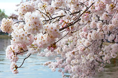 Beautiful cherry tree flowers at the bloom peak. Stock Photos