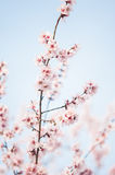 Beautiful cherry tree flowers Royalty Free Stock Image