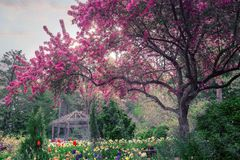 Beautiful cherry tree. A large cherry tree in a garden of tulips royalty free stock photo