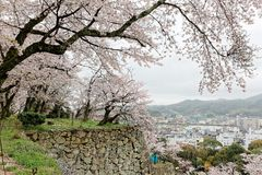 Beautiful cherry trees in full bloom in Tsuyama City. Okayama Japan ~ Romantic spring scenery of Japanese cherry blossoms  sakura trees  on the hillside Royalty Free Stock Images