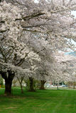 Cherry Trees In Spring With Full Blossoms Stock Image