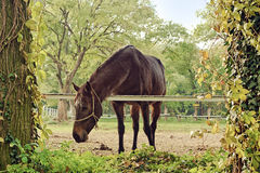 Beautiful Chestnut Brown Horse Mare on the Farm Royalty Free Stock Image