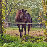 Beautiful Chestnut Brown Horse Mare on the Farm Royalty Free Stock Images
