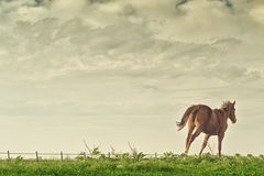 Beautiful Chestnut Brown Horse Running Royalty Free Stock Image