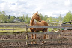 Beautiful Chestnut Coloured Horse Stock Image