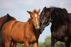 Beautiful chestnut foal and his mother Royalty Free Stock Photography
