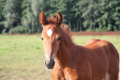 Free Beautiful Chestnut Foal Portrait In Summer Stock Image - 29929251
