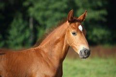 Free Beautiful Chestnut Foal Portrait In Summer Stock Image - 30290281