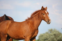 Beautiful chestnut foal Stock Photography