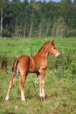 Beautiful chestnut foal portrait in summer Stock Photography
