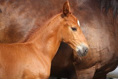 Beautiful chestnut foal portrait in summer Stock Images