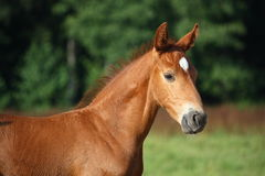 Beautiful chestnut foal portrait in summer Stock Image