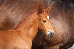 Beautiful chestnut foal portrait in summer Royalty Free Stock Photo