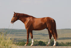 Beautiful chestnut gelding standing Royalty Free Stock Photos