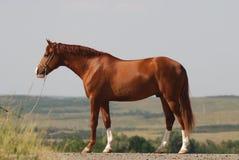 Beautiful chestnut gelding standing. Exterior of beautiful Russian Don chestnut stallion Royalty Free Stock Photos