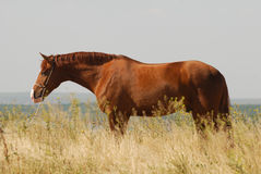 Beautiful chestnut gelding standing in the grass Royalty Free Stock Images