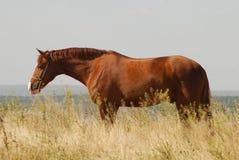 Beautiful chestnut gelding standing in the grass. Portrait of beautiful Russian Don chestnut stallion standing in the grass Royalty Free Stock Images